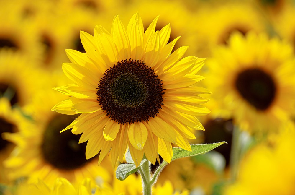 Sunflower Stock.jpg